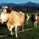 Kühe am Rührlehnerhof